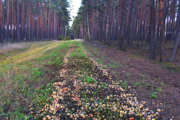 22x2020 - marchew i ziemniaki w lesie, zdjęcie 3/5