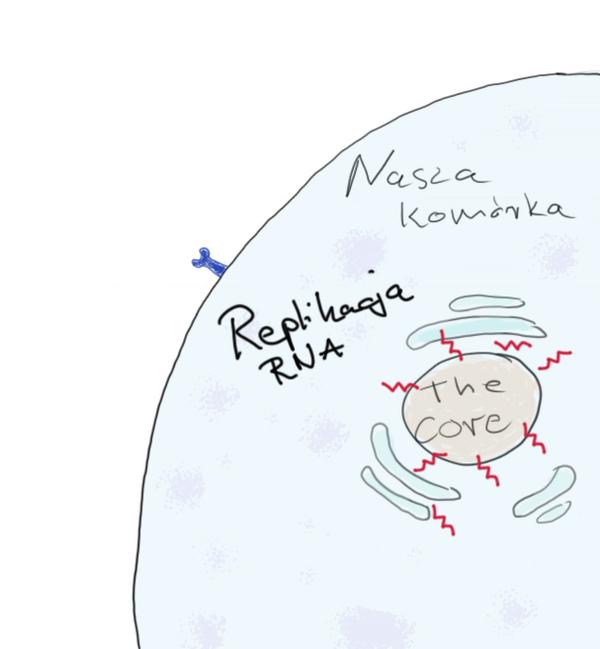 czym jest koronawirus, zdjęcie 2/3